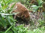 Hedgehog coming out of hibernation